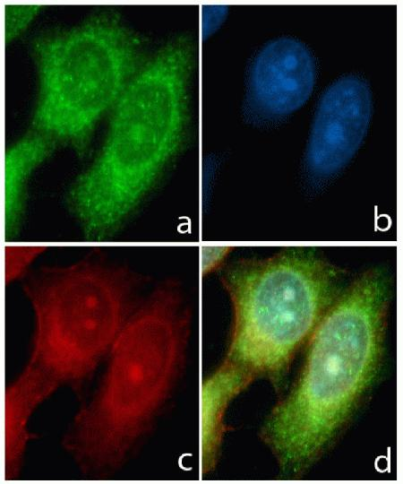 Immunocytochemistry analysis of HeLa cells stained with STAT6 ABfinity™ Recombinant Rabbit Monoclonal Antibody using (A) Alexa Fluor® 488 Goat Anti-Rabbit was used as secondary (green). (B) DAPI was used to stain the nucleus (blue) and (C) Alexa Fluor® 594 phalloidin was used to stain actin (red). (D) Composite image of cells showing cytoplasmic localization of STAT6.