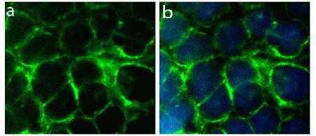 Immunocytochemistry analysis of HeLa cells stained with Connexin 36 ABfinity™ Recombinant Rabbit Monoclonal Antibody, using (A) Alexa Fluor® 488 Goat Anti-Rabbit was used as secondary (green). DAPI was used to stain the nucleus (blue). (B) Composite image of cells showing cell membrane and junction localization of Connexin 36.