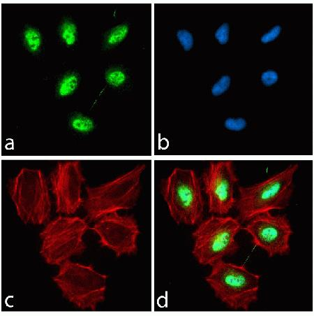 Immunocytochemistry analysis of HeLa cells stained with Pax 3 ABfinity™ Recombinant Rabbit Monoclonal Antibody, using (A) Alexa Fluor® 488 Goat Anti-Rabbit was used as secondary (green). (B) DAPI was used to stain the nucleus (blue) and (C) Alexa Fluor® 594 phalloidin was used to stain actin (red). (D) Composite image of cells showing nuclear localization of Pax 3.