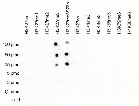 A Dot Blot analysis was performed to test the cross reactivity of the antibody against H3K27me3 (Cat. No. A15024) with peptides containing other modifications of histone H3 and H4 and the unmodified H3K27 sequence. One hundred to 0.2 pmol of the peptide containing the respective histone modification were spotted on a membrane. The antibody was used at a dilution of 1:5,000. This figure shows a high specificity of the antibody for the modification of interest. Please note that that antibody also recognizes the modification if S28 is phosphorylated.