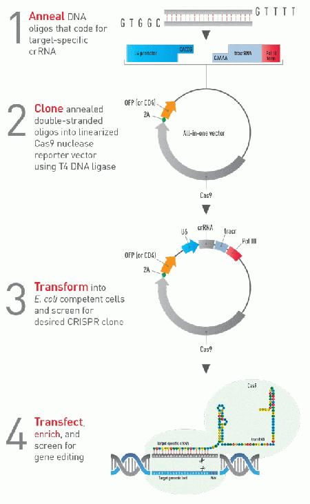 After transfection, the samples can be analyzed for transfection efficiency based on the choice of reporter used, cleavage efficiency using our GeneArt® Genomic Cleavage Detection Assay (Cat. No. A24372), or enriched for the CRISPR/Cas9-expressing cell population.