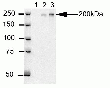 Western blot analysis of U20S cell lysates after immunoprecipitation (IP) using mouse anti-Cep170 antibody(cat # 41-3200). Lane 1: Sample IP carried using non-Cep170 antibody. Lane 2: Sample IP carried using hybridoma cell culture supernatant containing Cep170 antibody. Lane 3: Sample IP carried using purified Cep170 antibody.