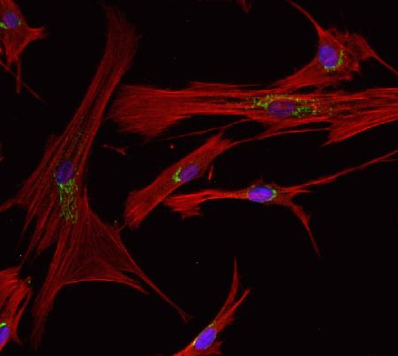 Human dermal fibroblasts, neonatal (HDFn) (C-004-5C) were fixed and permeabilized using the Image-iT® Fixation/Permeabilization Kit (R37602). Golgi staining was done using an anti-Golgin-97 primary antibody (A21270) and a goat anti-mouse Alexa Fluor® 488 secondary antibody (A11029). Actin was stained using Alexa Fluor® 594 phalloidin (A12381) and nuclei were stained using NucBlue™ Live Cell Stain (R37605). Slides were mounted using ProLong® Gold antifade kit (P7481) and images were acquired on the FLoid™ Cell Imaging Station (4471136).