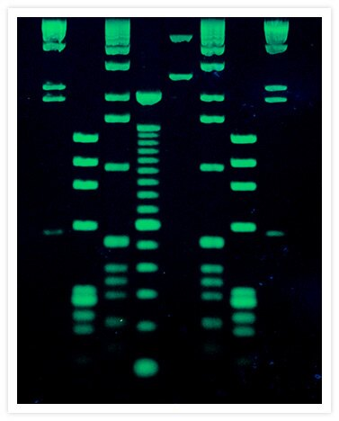 DNA molecular weight ladders that were electrophoresed on a 1% agarose gel were stained for 30 min with a 1:10,000 dilution of SYBR® Green I Nucleic Acid Gel Stain (Cat. No. S7563, S7567, S7585). Lanes 1 and 8 contain HindIII–cut DNA; lanes 2 and 7, HaeII–cut fX174 RF DNA; lanes 3 and 6, 1 kilobase pair DNA ladder (Life Technologies); lane 4, 100 Base Pair DNA Ladder (Life Technologies); lane 5, EcoRI–cut pUC19 DNA mixed with PstI–cut fX174 RF DNA. Gel staining was visualized using 254 nm epi-illumination.