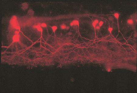 Secondary motor neurons in a spinal cord whole mount of a male western mosquitofish (<i>Gambusia affinis affinis</i>) that have been labeled with lysine-fixable 3000 MW Texas Red® dextran (Cat. No. D3328). The dextran crystals were applied to the bipinnate inclinator muscles of the anal appendicular support fin, and the dye was transported from the axons to cell body and dendrites. Motor neurons were visualized and photographed through a bandpass optical filter appropriate for Texas Red® dye, by epifluorescence microscopy. Image contributed by E. Rosa-Molinar, University of Nebraska Medical Center, and Bernd Fritzsch, Creighton University.