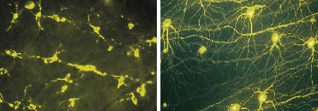 Rat retinal ganglion cells that have been allowed to regenerate for two months after transection into a grafted peripheral nerve piece and then labeled with 4-Di-10-ASP (D291), which is retrogradely transported within the regenerated axons and finest dendrites (right panel). Microglial cells in the retina were transcellularly labeled with 4-Di-10-ASP after phagocytosing degenerated ganglion cells (left panel). The images were contributed by Solon Thanos, University of Tübingen School of Medicine.