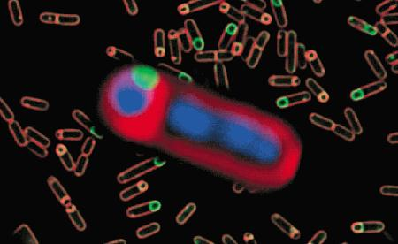 The morphology of sporulating <i>Bacillus subtilis</i> in the early stages of forespore engulfment. The membranes and chromosomes of both the forespore and the larger mother cell are stained with FM 4-64 (red; Cat. No. T3166, T13320) and DAPI (blue, Cat. No. D1306, D3571, D21490), respectively. The small green-fluorescent patch indicates the localization of a GFP fusion to SPoIIIE, a protein essential for translocation of the forespore chromosome that may also regulate membrane fusion events (see Proc Natl Acad Sci U S A (1999) 96:14553). The background contains sporangia at various stages in the engulfment process stained with MitoTracker Green FM (green, Cat No. M7514) and FM 4-64 (red).