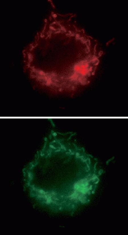 Images of an NIH 3T3 cell showing colocalization of the CoroNa™ Red sodium indicator (left panel; Cat. no. C24430, C24431) with the MitoTracker® Green FM mitochondrial marker (right panel, M7514). A cell loaded with both dyes was imaged consecutively using Omega Optical bandpass filter set XF41 for CoroNa™ Red sodium indicator and set XF23 for MitoTracker® Green FM.