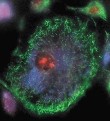 Live bovine pulmonary artery endothelial cells (BPAEC) were incubated with the cell-permeant, weakly blue-fluorescent dihydroethidium (D1168, D11347, D23107) and the green-fluorescent mitochondrial stain, MitoTracker Green FM (M7514). Upon oxidation, red-fluorescent ethidium accumulated in the nucleus.