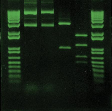 DNA fragments were electrophoresed through an agarose gel, then stained with SYBR Safe DNA gel stain (S33100, S33101, S33110).