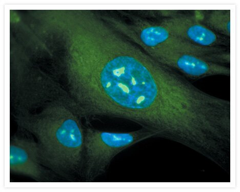Methanol-fixed MRC-5 cells stained with SYTO® RNASelect™ green-fluorescent cell stain (Cat. no. S32703). Nuclei were stained with DAPI (Cat. no. D1306, D3571, D21490); the densely stained areas are nucleoli.