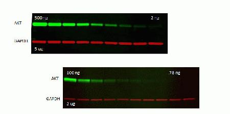 Simultaneous detection of a protein of interest and a loading control on a single blot using WesternDot® secondary antibodies. A western blot containing a dilution series of recombinant AKT in a background of Jurkat lysate at a constant loading of 5 µg total protein.  The blot was probed with mouse anti-AKT and rabbit anti-GAPDH, followed by WesternDot™ 655 goat anti-mouse (Cat. no. W10813, pseudocolored green) and WesternDot™ 800 goat anti-rabbit (Cat. No. W10816, pseudocolored red) conjugates and imaged using the Fujifilm® FLA-9000 imager.