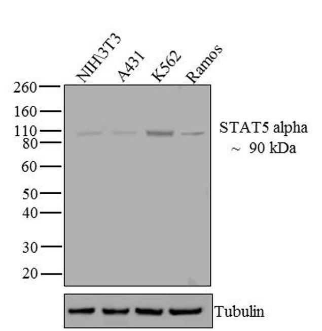 STAT5 alpha Antibody (13-3600) in Western Blot