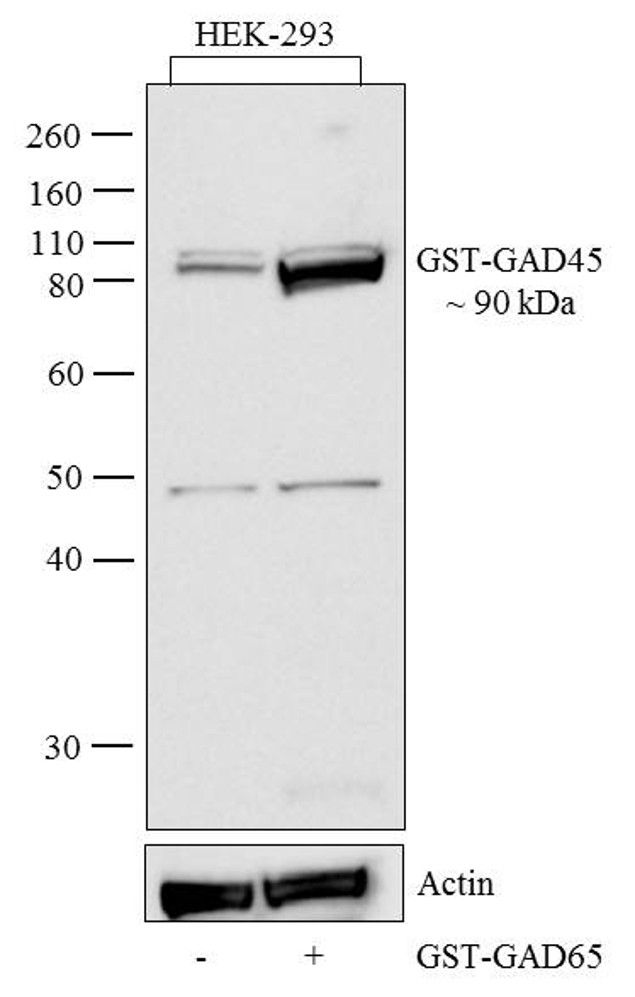 GST Tag Antibody (13-6700)
