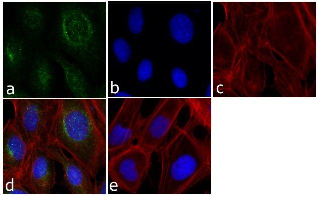 ERK1 Antibody (13-8600) in Immunofluorescence