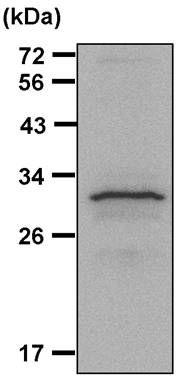14-3-3 zeta Antibody (PA5-27317) in Immunoprecipitation