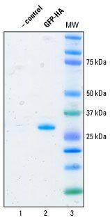 HA Epitope Tag Antibody (26181)