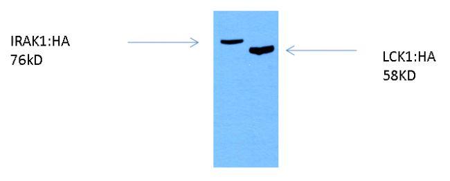HA Tag Antibody (26183-BTIN) in Western Blot