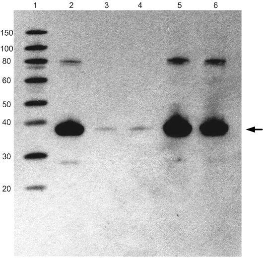HA Tag Antibody (26183) in Western Blot