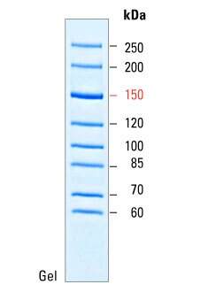 PageRuler Unstained High Range Protein Ladder - Thermo Fisher ...