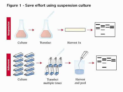 master thesis cell culture Master of science in molecular medicine thesis/project catalogue pcr, molecular cloning, mammalian cell culture, cas9/crispr master thesis in molecular.