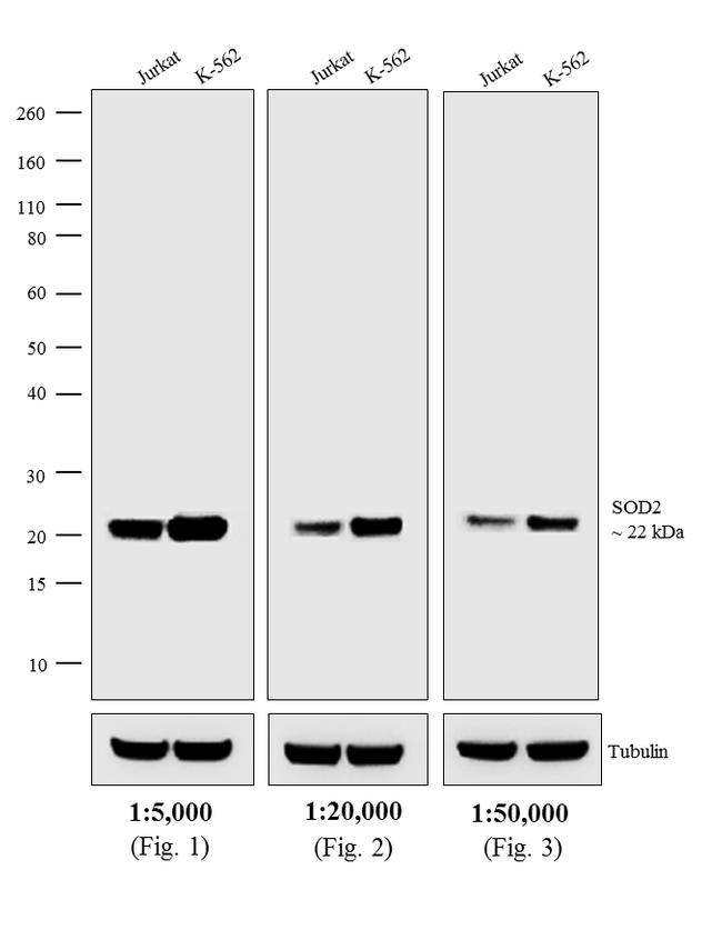 Mouse IgG (H+L) Secondary Antibody (31321) in Western Blot