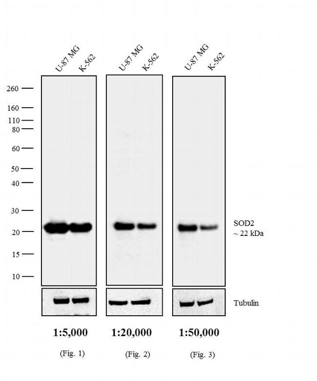 Mouse IgG F(ab')2 Secondary Antibody (31324) in Western Blot
