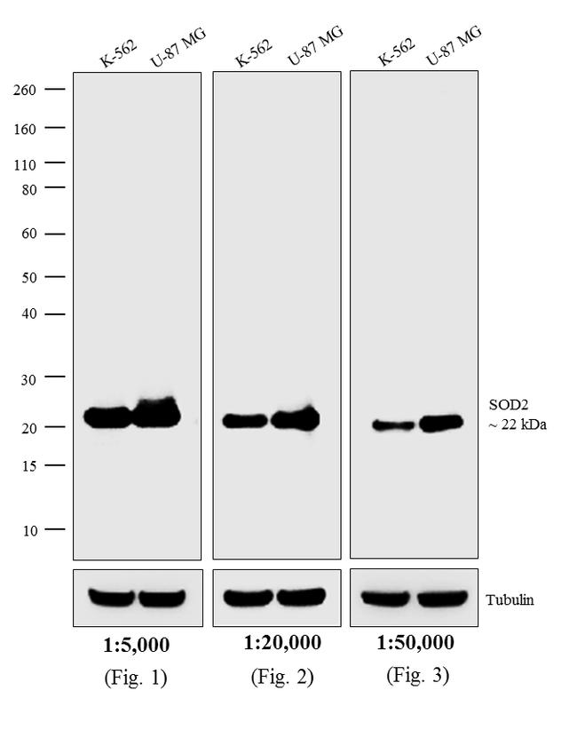 Mouse IgG, IgM (H+L) Secondary Antibody (31328) in Western Blot