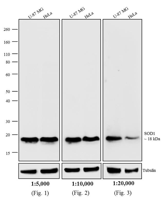 Mouse IgG Fc Secondary Antibody (31332) in Western Blot