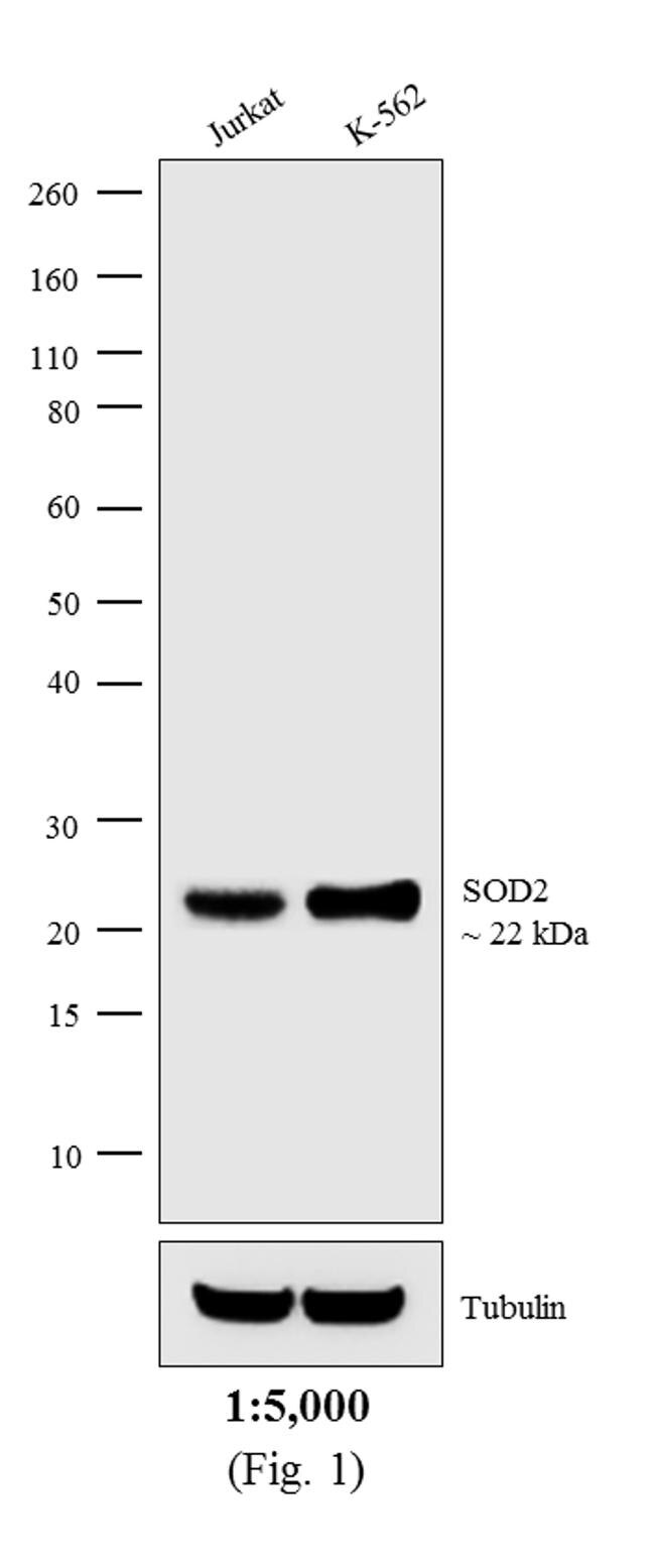 Mouse IgG (H+L) Cross-Adsorbed Secondary Antibody (31334) in Western Blot