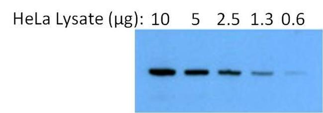 Rabbit IgG (H+L) Secondary Antibody (31340)