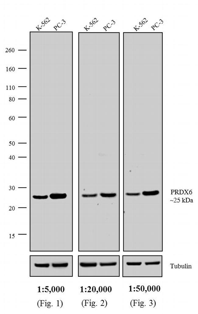 Rabbit IgG (H+L) Cross-Adsorbed Secondary Antibody (31345) in Western Blot