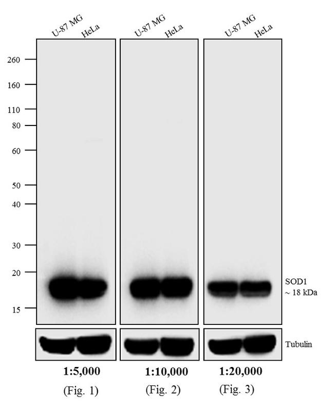 Mouse IgG (H+L) Cross-Adsorbed Secondary Antibody (31432) in Western Blot