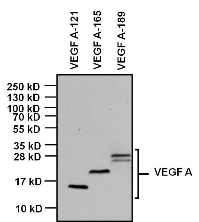 Mouse IgG Fc Secondary Antibody (31437)