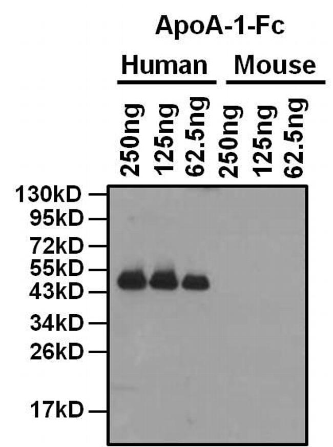 Mouse IgG Fc Cross-Adsorbed Secondary Antibody (31439) in Western Blot
