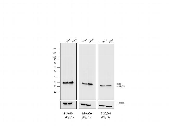 Mouse IgG, IgM (H+L) Secondary Antibody (31444) in Western Blot