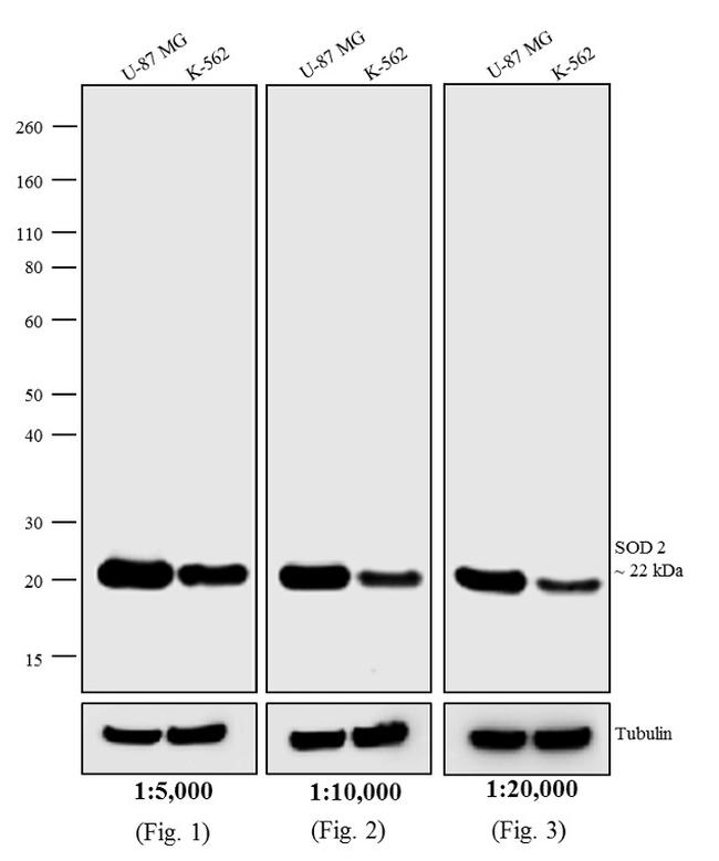 Mouse IgG, IgM (H+L) Secondary Antibody (31457) in Western Blot