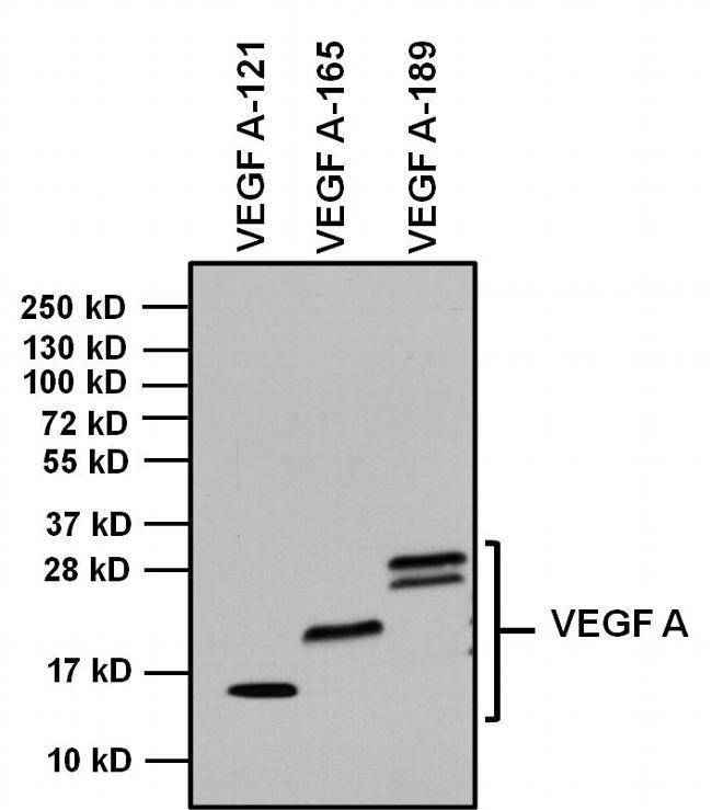 Rabbit IgG Fc Secondary Antibody (31463) in Western Blot