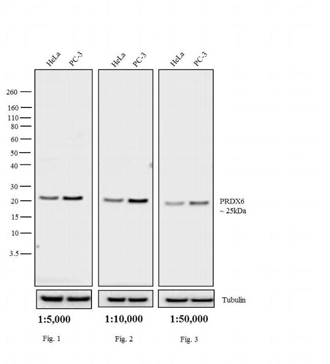 Rabbit IgG (H+L) Cross-Adsorbed Secondary Antibody (31464) in Western Blot