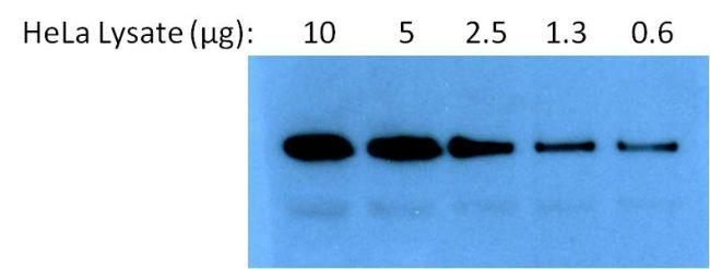 Rabbit IgG (H+L) Secondary Antibody (31466) in Western Blot