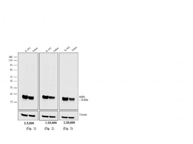 Mouse IgG (H+L) Secondary Antibody (31806)