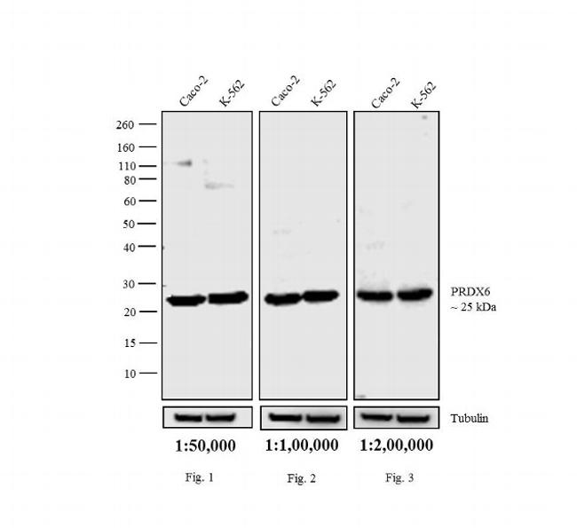 Rabbit IgG (H+L) Cross-Adsorbed Secondary Antibody (31822) in Western Blot