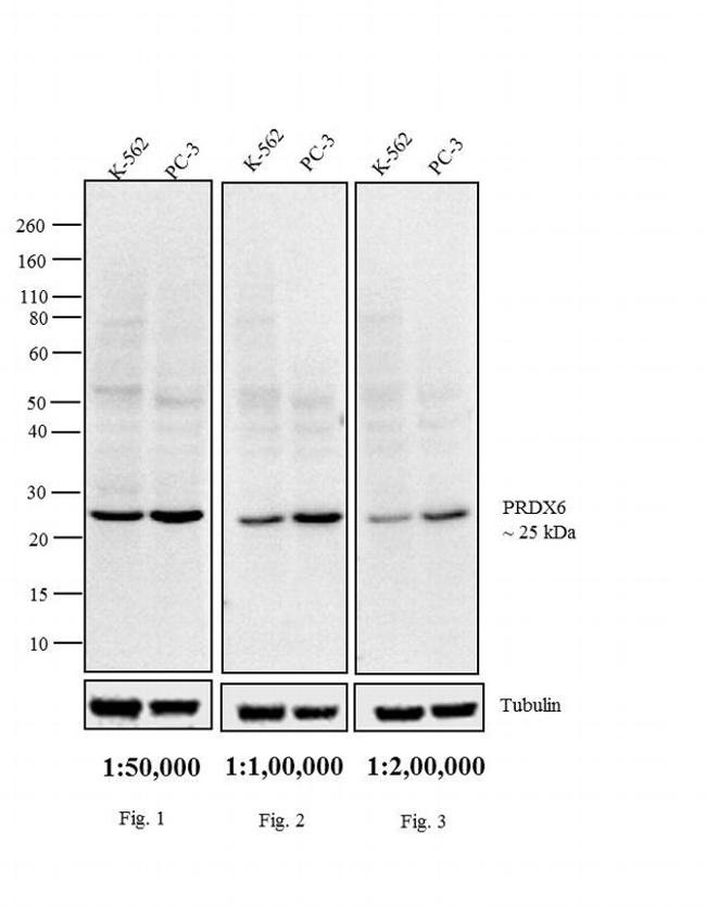 Rabbit IgG F(ab')2 Secondary Antibody (31823) in Western Blot