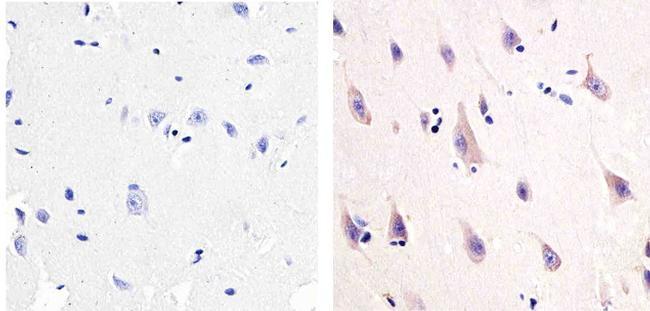 NMDAR1 Antibody (32-0500)