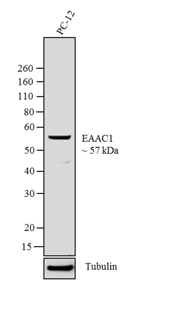EAAC1 Antibody (32-1000) in Western Blot