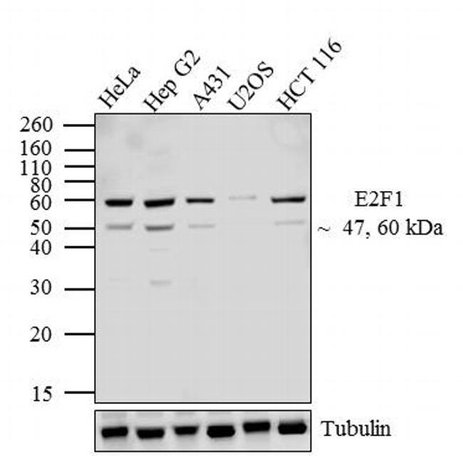 E2F1 Antibody (32-1400)