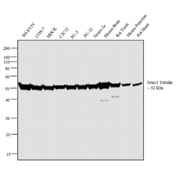 beta-3 Tubulin Antibody (32-2600) in Western Blot