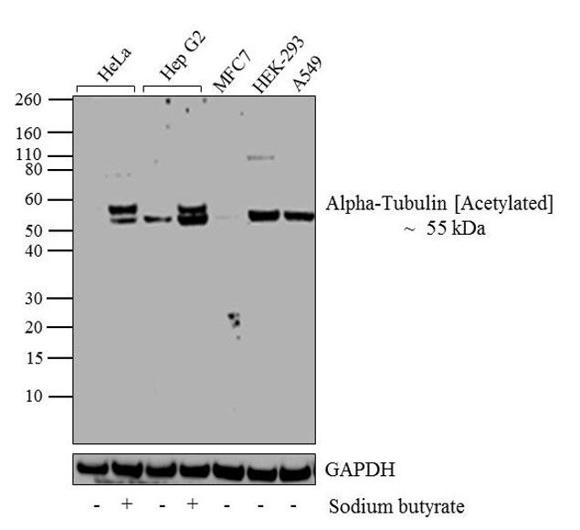 Acetyl-alpha Tubulin (Lys40) Antibody (32-2700) in Western Blot