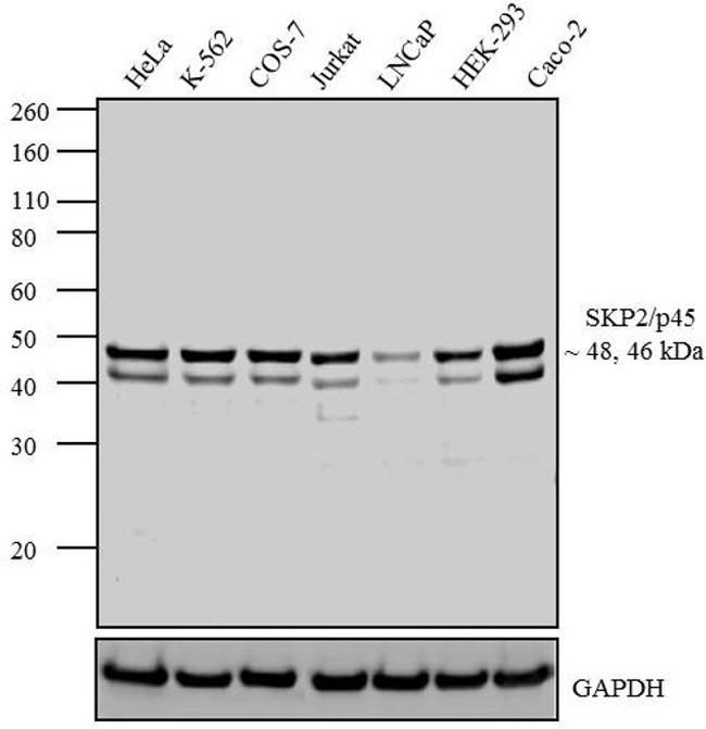 SKP2 Antibody (32-3300) in Western Blot