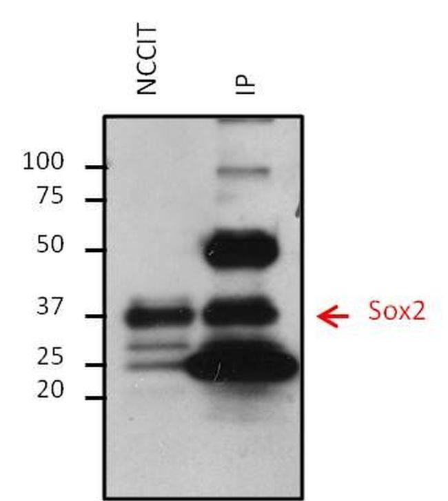 Mouse IgG (H+L) Secondary Antibody (32430) in Immunoprecipitation
